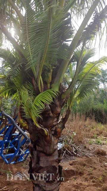 Dừa trổ ra cây con siêu lạ ở Bến Tre - 7
