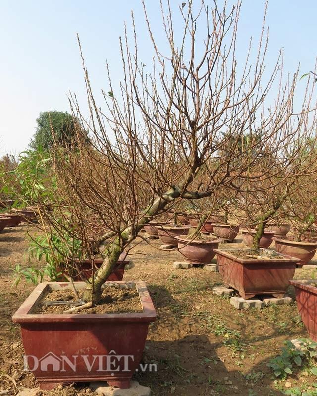Để tạo được cây đào thế đẹp phải mất từ 7-8 năm trở lên.