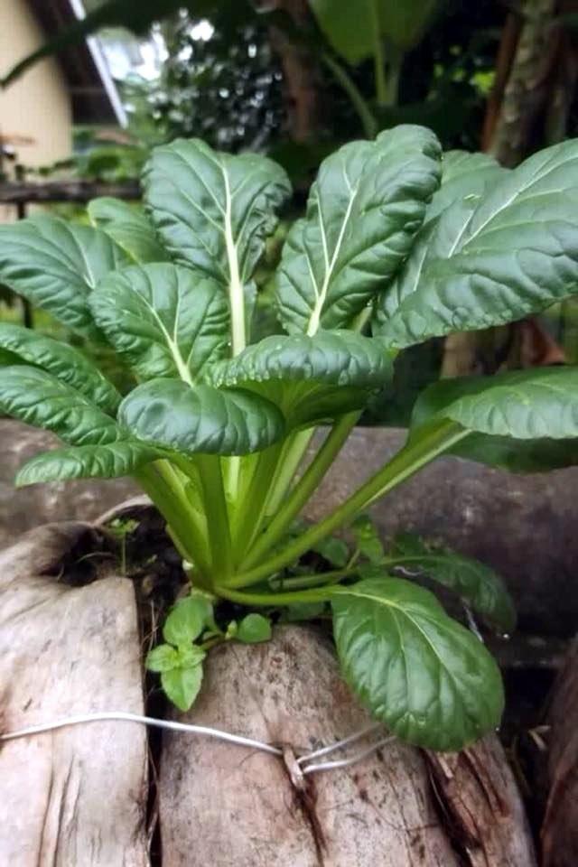 Không nên vứt vỏ quả dừa đi vì chúng cũng có thể tận dụng trồng rau sạch