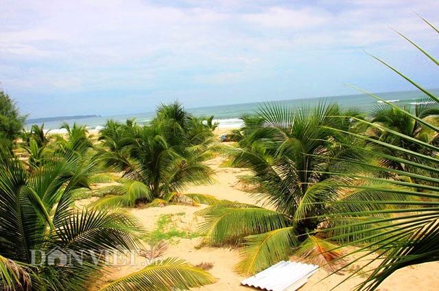 """""""Quá đã"""" vườn dừa xiêm lùn siêu ngọt trĩu trái nằm sát biển - 9"""