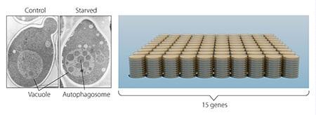 Trong nấm men (hình bên trái) một khoang lớn gọi là không bào tương ứng với lysosome trong tế bào động vật có vú. Ohsumi tạo ra nấm men thiếu các enzym tiêu hủy không bào. Khi các tế bào nấm men bị bỏ đói, các autophagosome nhanh chóng tích lũy trong không bào (hình giữa). Thí nghiệm của ông đã chứng minh rằng hiện tượng tự thực tồn tại trong nấm men. Bước tiếp theo, Ohsumi nghiên cứu hàng ngàn đột biến nấm men (bên phải) và xác định được 15 genthiết yếu cho autophagy.