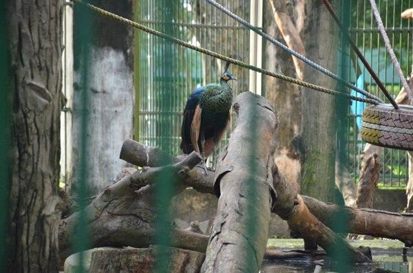 Chim khổng tước quý hiếm được chăm sóc trong Thảo Cầm Viên Sài Gòn