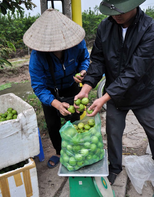Không chỉ bán lẻ, ổi Đông Dư còn được các lái buôn ở nhiều nơi về thu gom mang đi khắp cả nước.