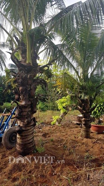 Dừa trổ ra cây con siêu lạ ở Bến Tre - 3
