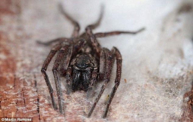 Phát hiện 3 loài nhện ma bay cả trăm kilomet trên biển - 3