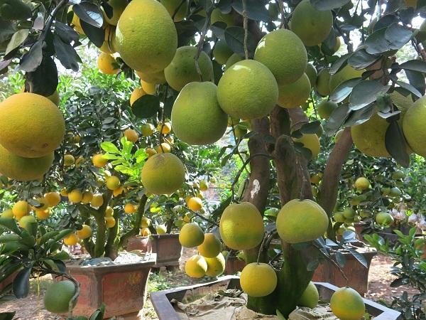 Cũng theo chủ vườn, sở thích về kiểu dáng chơi bưởi cảnh đa dạng nhưng tiêu chí chung là tán tròn, nhiều quả, sắc quả chín vàng, cây xanh tốt đầy đủ lộc lá...