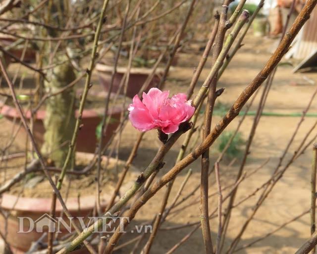 Hoa của những gốc đào thế cổ mang vẻ đẹp rất riêng, hút hồn người chơi mỗi dịp Tết về…