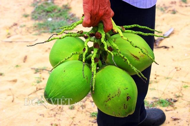 """""""Quá đã"""" vườn dừa xiêm lùn siêu ngọt trĩu trái nằm sát biển - 11"""