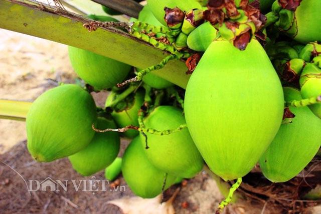 """""""Quá đã"""" vườn dừa xiêm lùn siêu ngọt trĩu trái nằm sát biển - 12"""