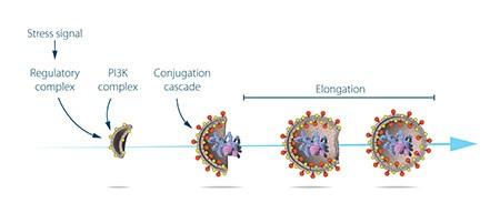 Ohsumi đã nghiên cứu chức năng của protein được mã hóa bởi các gen autophagy chủ chốt. Ông đã mô tả tín hiệu stress khởi đầu autophagy như thế nào và cơ chế mà các protein và phức hợp protein thúc đẩy những giai đoạn khác nhau của sự hình thành autophagosome.