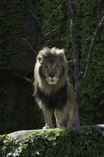 Sư tử châu Phi tại Sở thú Công viên Lincoln. Ảnh: Lincoln Park Zoo