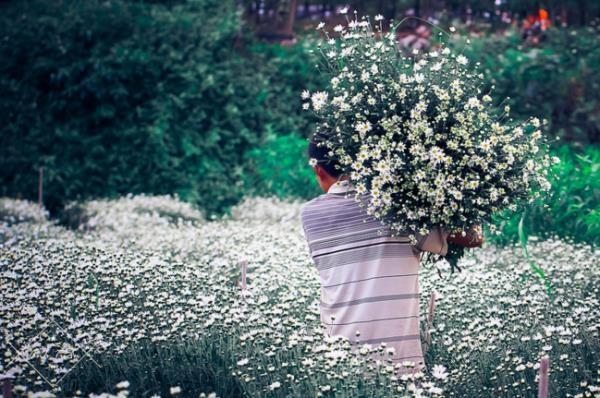 Cánh đồng cúc họa mi xinh đẹp ở vườn hoa Nhật Tân thu hút nhiều du khách đến chụp ảnh. Ảnh: Trần Anh Tuấn.