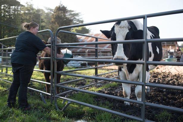 Ông Ken hiện đã đo chiều cao chính xác của Daniel để gửi tới Kỉ lục Thế giới Guinness với mong muốn Daniel được chính thức công nhận là chú bò cao nhất thế giới