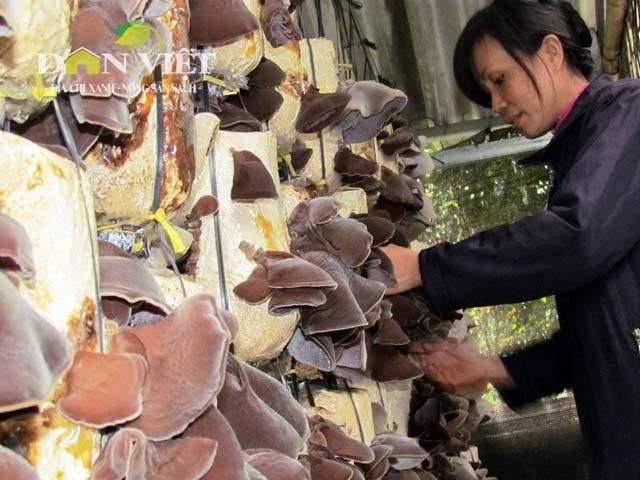 Người dân tăng công suất trồng nấm đáp ứng thị trường Tết