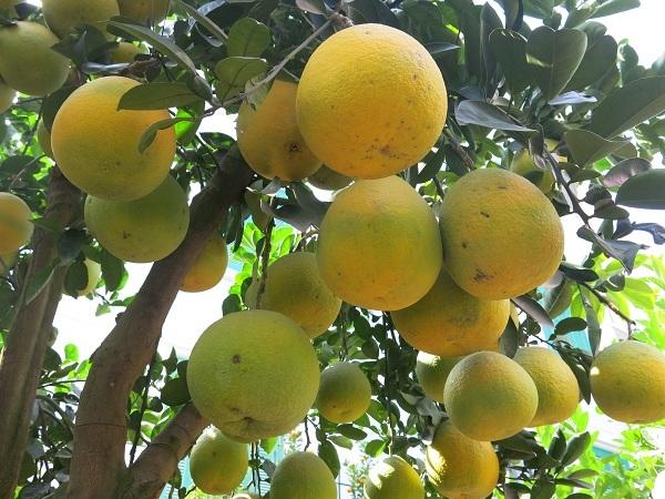Những cây có giá thành cao từ 20 - 40 triệu đồng thường phải là cây có kiểu dáng độc và lạ. Ngoài ra, số lượng quả phải đảm bảo khoảng 70 - 80 quả/cây trở lên.