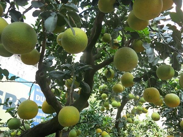 Dù được trồng vào chậu nhưng cây bưởi cảnh này vẫn xanh tốt và cho hàng trăm quả