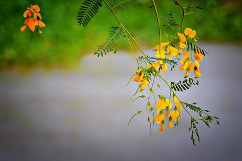 Bông điên điển vàng rực làm nên đặc trưng của miền Tây mùa nước nổi. Ảnh: Phụng Tiên.