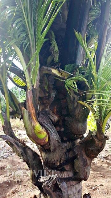 Dừa trổ ra cây con siêu lạ ở Bến Tre - 5