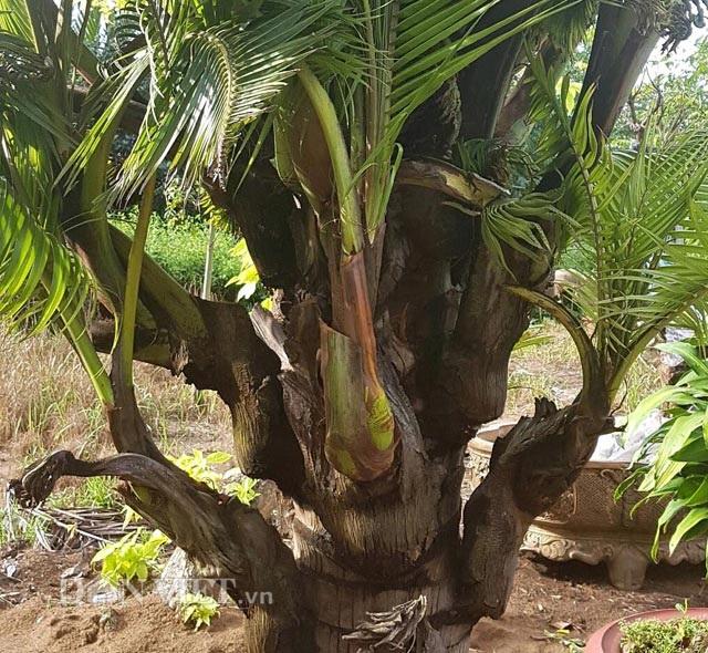 Dừa trổ ra cây con siêu lạ ở Bến Tre - 6