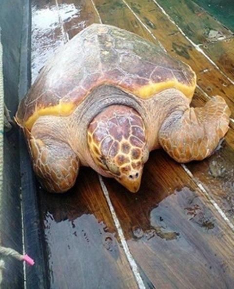 Con rùa vàng quý hiếm nặng ước chừng hơn 70 kg