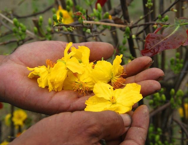 Cơn mưa trái mùa đúng thời điểm nhà vườn kinh doanh mai Tết đã xuống lá. Điều này chắc chắn sẽ khiến mai nở sớm gây thiệt hại về kinh tế cho người dân.