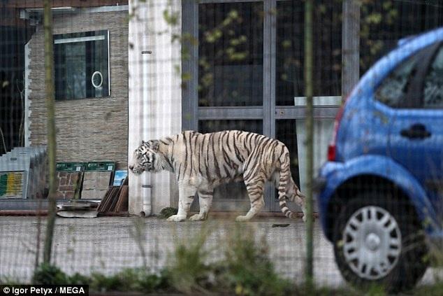 Chú hổ trắng Bengal đi lang thang trên đường phố ở khu đô thị Monreale. Đây là một con hổ cái, có tên Oscar.