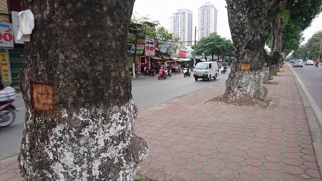 Hàng loạt cây xà cừ cổ thụ tại đường Láng bị đục đẽo, lột vỏ.