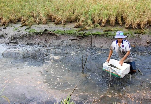 Hàng nghìn ha đất tôm, lúa ở Cà Mau bị ảnh hưởng vì đập xả nước.