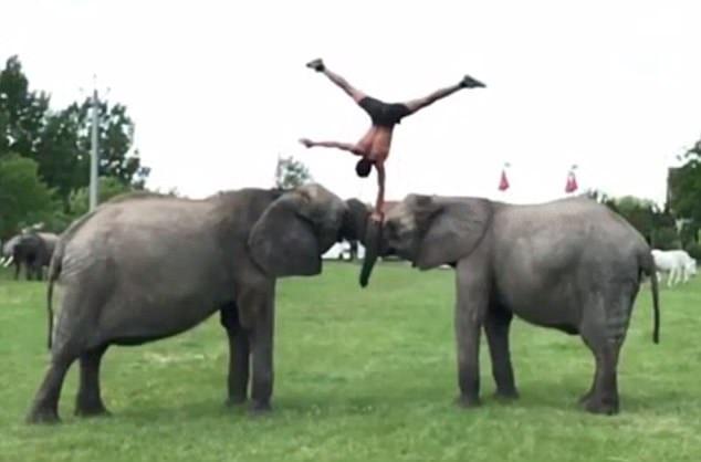 Hai chú voi cuốn vòi vào nhau, và Rene chống tay thăng bằng trên đó.
