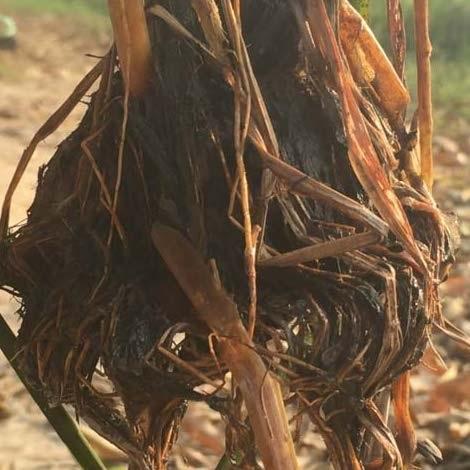Cây lúa biến dạng bất thường cạnh KCN Quang Châu.