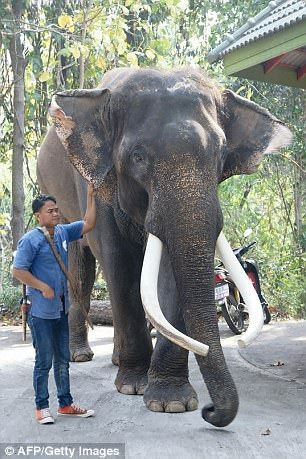 Voi Phlai Ekasit đã vừa giẫm chết người chủ của nó tại một vườn thú ở Thái Lan vào sáng thứ 2 vừa qua.