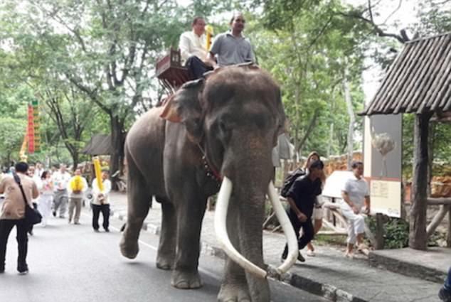 Người chủ voi - ông Somsak Riangngern - đã bị chính con voi của mình - Phlai Ekasit làm hại. Trong ảnh, voi Phlai đang chở du khách đi tham quan bên trong vườn thú.