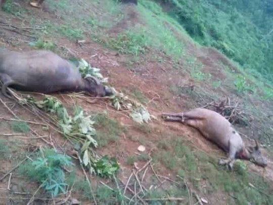 Đàn trâu bị sét đánh chết, nằm ngổn ngang trên đồi