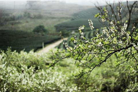 Hoa mận xuất hiện nhiều nhất tại bản Áng, Tân Lập, thung lũng Nà Ka và đường vào Ngũ Động Bản Ôn.