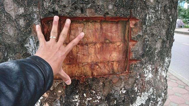 Rất nhiều cây xà cừ tại đường Láng có vết đục đẽo giống nhau. Công an phường Láng Hạ cho biết, khi lột vỏ các đối tượng đã nói dối người dân là làm như vậy để gắn biển số cho cây.