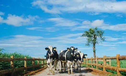 Trang trại bò sữa hữu cơ tại Việt Nam giúp người tiêu dùng Việt có thể được uống sữa hữu cơ theo xu hướng thế giới với giá cả nội địa