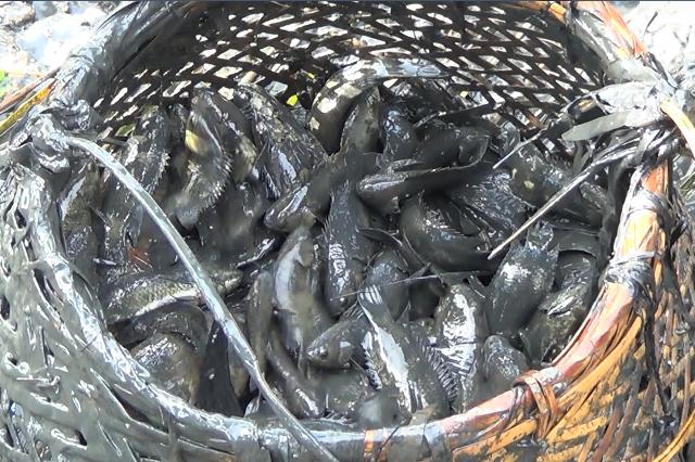 Sản phẩm thu về là các loại cá tự nhiên, thịt thơm ngon