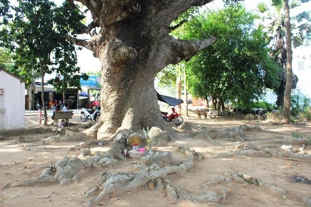 Rễ cây ăn rộng ra xung quanh, trồi lên mặt đất như những con trăn khổng lồ