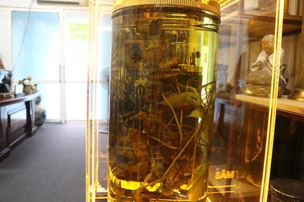 Củ sâm Ngọc Linh to nhất giữa nhiều bình sâm vài chục năm tuổi