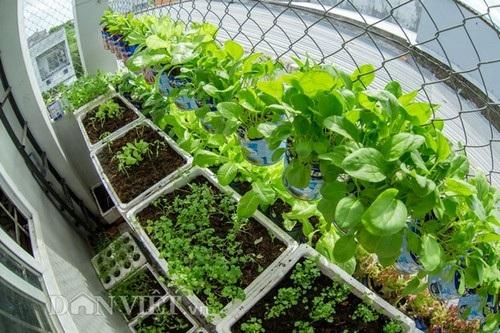 Tính tới thời điểm hiện tại ông bố trẻ 9x này đầu tư cho vườn rau với chi phí cực rẻ chỉ 100.000 tiền hạt giống, 2 bao sơ dừa 40.000, 12 thùng xốp 60.000 đồng. Mới trồng được hơn một tháng, vườn rau của ông bố 9x này đã có kha khá các loại rau: rau xà lách, rau cải ngọt, rau ngò, rau diếp cá, rau cần, cà chua, mồng tơi,...