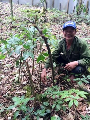 Ông Hồ Kim Lĩnh bên gốc sâm Ngọc Linh Tổ có tuổi đời hàng trăm năm trong vườn nhà. Nhờ cây sâm Tổ này mỗi năm cho ông hơn 1.000 hạt giống để nhân rộng vườn sâm triệu USD của mình.