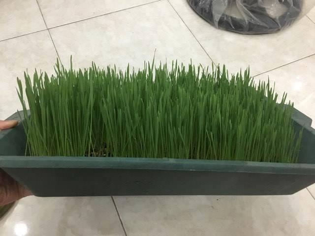 Thời gian gần đây, nhiều người Hà Nội rộ trào lưu trồng loại cỏ lúa mì này trong nhà. Ảnh: Trần Trang