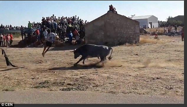 Một thanh niên khác chạy tới nhảy lộn nhào qua lưng bò.