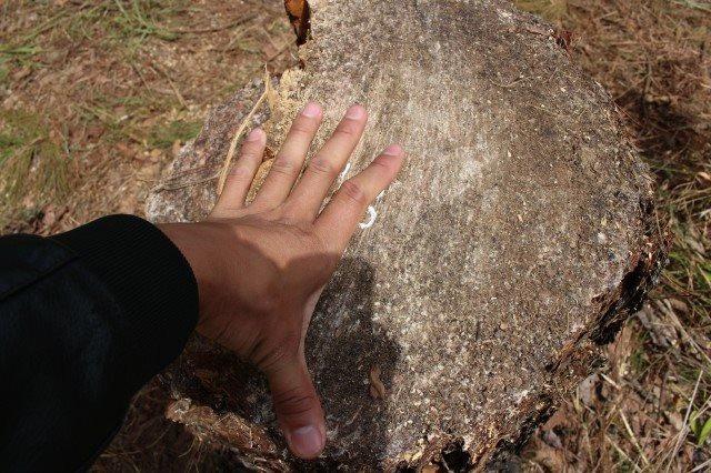 Những gốc thông 40 tuổi có đường kính từ 30-60cm bị đốn hạ