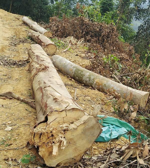 Nhiều cây gỗ lớn đã được cắt và vận chuyển ra đường
