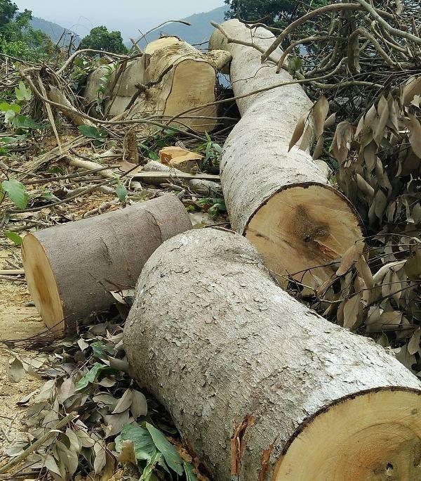 Dự án cải tạo rừng nghèo kiệt: Có công văn tạm dừng thì... rừng đã kiệt! - 3