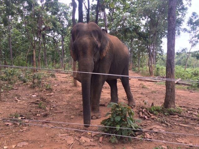 Con voi cái vừa được trao tặng cho Trung tâm bảo tồn voi Đắk Lắk (ảnh H.L)