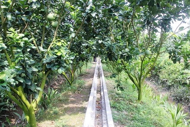Xây dựng đường bê tông quanh vườn bưởi để dễ dàng vận chuyển vật tư, thu hoạch quả