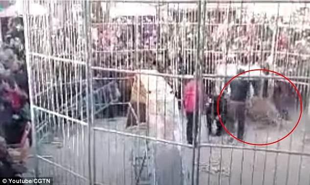 Một con hổ biểu diễn trong gánh xiếc đã bất ngờ thoát ra khỏi những tấm rào sắt quây quanh khu vực biểu diễn. Sự việc vừa xảy ra vào cuối tuần qua tại thị trấn Lâm Phần, tỉnh Sơn Tây, Trung Quốc.