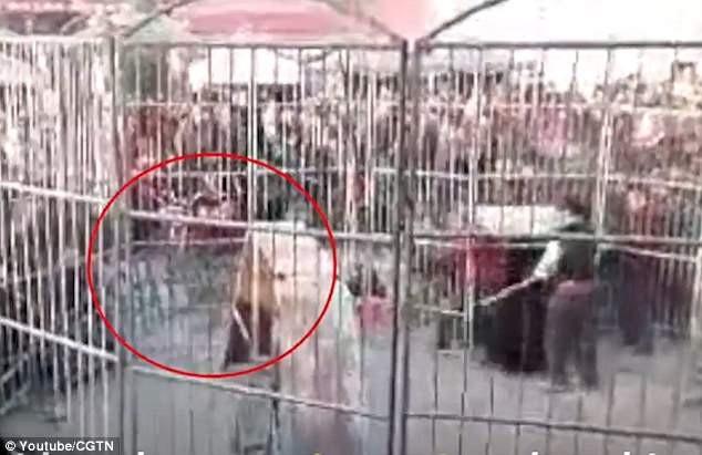 Sau khi con hổ thoát ra khỏi những tấm rào sắt, nó đã tiến thẳng về phía đám đông khán giả, tấn công hai trẻ nhỏ.